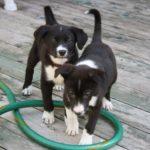 Meet the Puppies Leonard and Sheldon